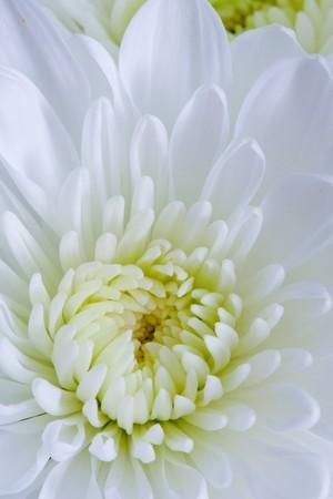 Chrysanthemum Flowers photo