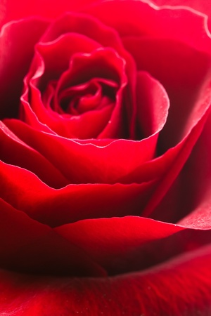 red rose very close-up  photo