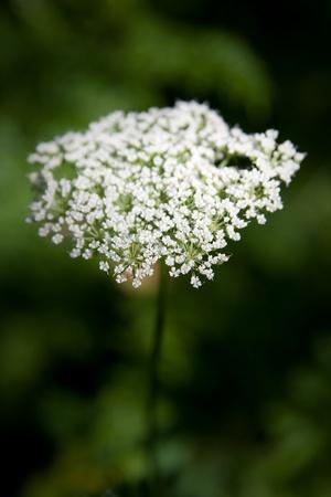 millefolium: western yarrow