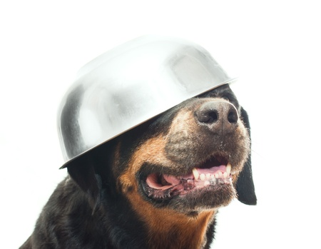 bowl water: portrait of a purebred  rottweiler in studio Stock Photo