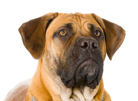 Puppy of girl of 8 months of rare breed South African boerboel posing in studio. Isolated on white