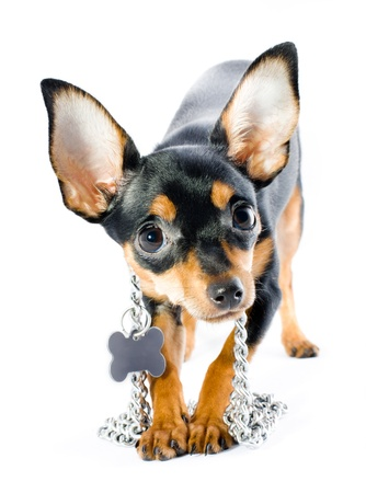 Picture of a funny curious toy terrier dog looking up. white background