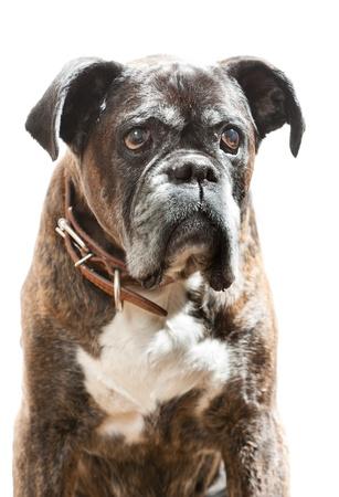 perro boxer: Boxeador delante de un fondo blanco Foto de archivo