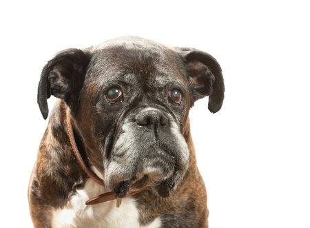 Boxer  in front of a white background Stock Photo - 9608962