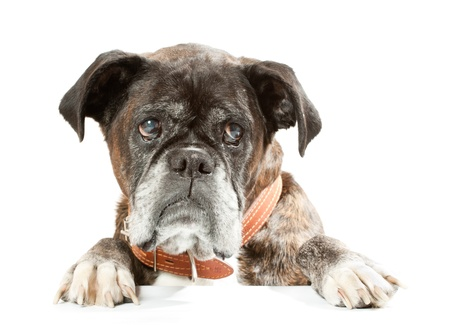 Boxer  in front of a white background