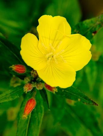 oenothera biennis: Evening primrose (Oenothera biennis) . Close up of one flower on green background
