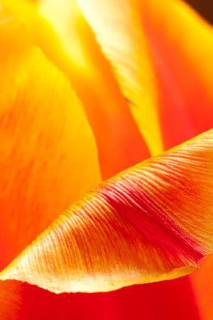 Inside the Tulip Stock Photo - 10054696