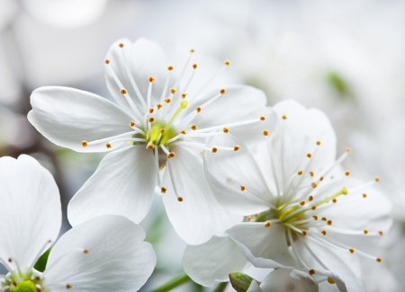 ablooming: Flower of a cherry