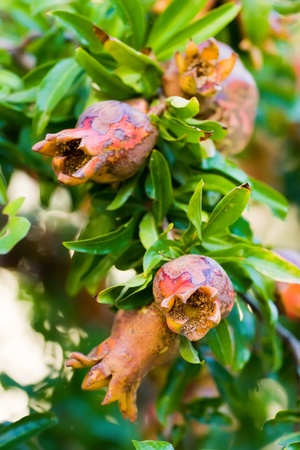 Ripe colorful pomegranate fruit on tree branch photo