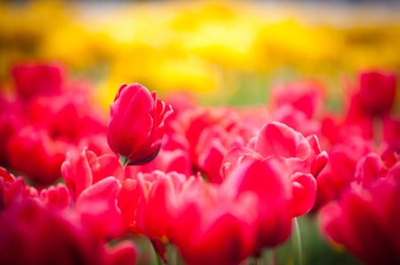 Colorful tulips in the garden Stock Photo - 11839073
