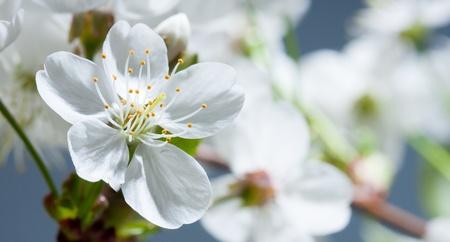 ablooming: Fiore di un ciliegio