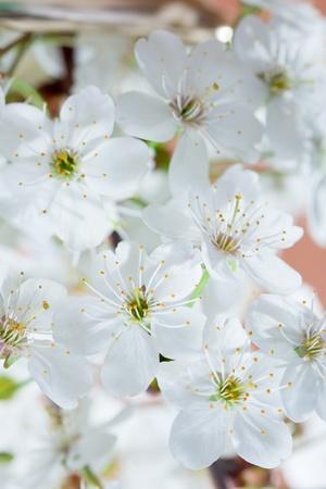 ablooming: Fiore di una ciliegia Archivio Fotografico
