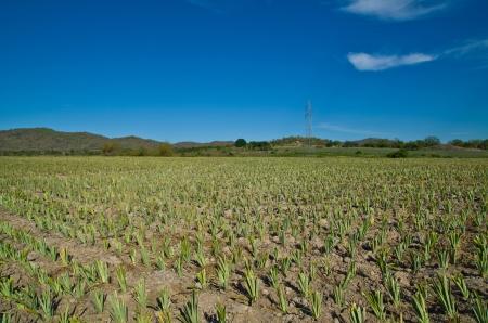 pineapple farm has recently started planting season Stock Photo - 19908760