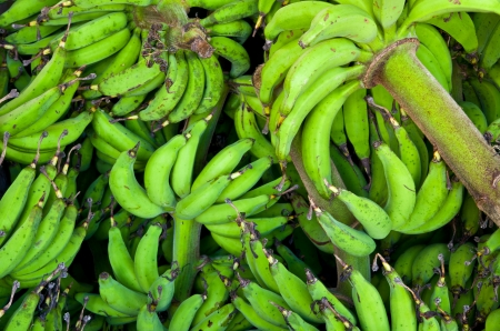 bunched: green lady finger banana from the garden of a farmer. Stock Photo