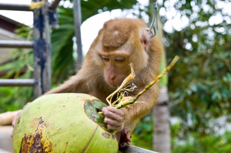 the monkey was trained to climb coconut trees photo