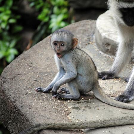 agape: Surprised, astonished baby monkey in Masai Mara (Kenia)