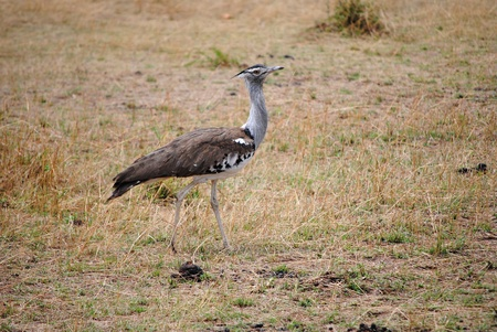 Kori Bustard (Ardeotis kori) in Masai Mara Stock Photo - 9092814