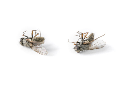 Close-up shot of two dead flies on a white background