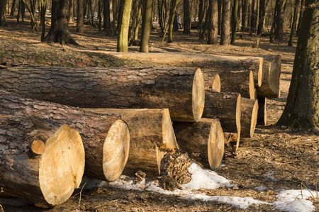 Large logs of trees stacked after a felling Foto de archivo