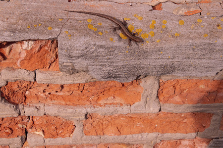 Lizard on a brick wall - background, texture, there is free space to fill 版權商用圖片