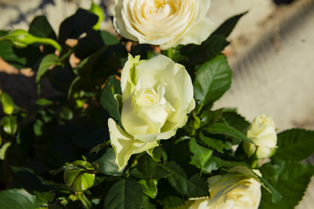 White blooming rose - Mother's Day, Earth Day