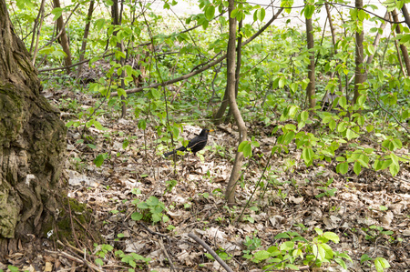 Blackbird in a deciduous forest in spring - background Stock Photo