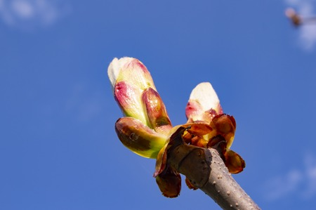Young shoots of chestnut in the spring - Earth Day