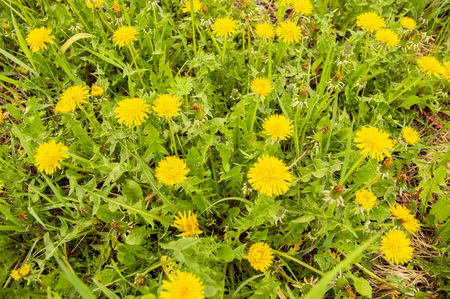 Flowering yellow dandelions in the spring - Earth Day, Mother's Day