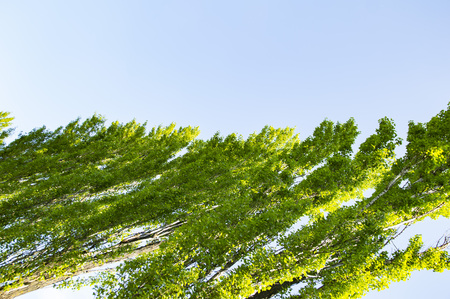 Crown of a poplar tree on a blue sky background on a sunny day Archivio Fotografico