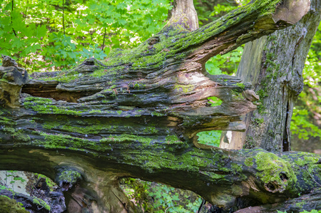 Wrecked dry trunk of an old tree on a background of green trees. Background. Stock Photo