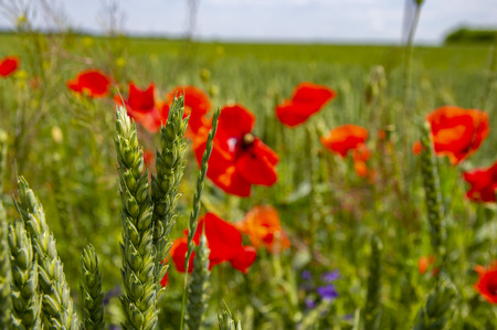 Ears of wheat against the background of poppy flowers. Place for text.
