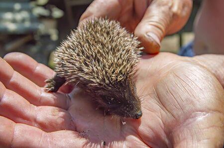 Little wild hedgehog in the hands of man. Wild animals.