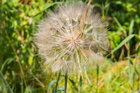 big dandelion with seeds on a background of green grass