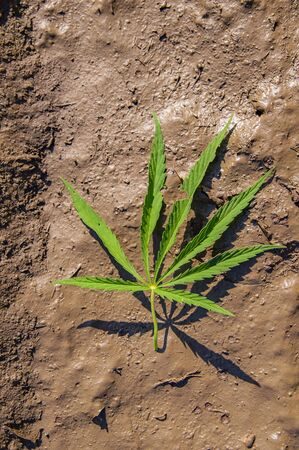 Wild Cannabis Leaf lies in muddy water. Place for text. Imagens