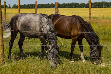 A pair of horses graze on the fenced pasture. Livestock
