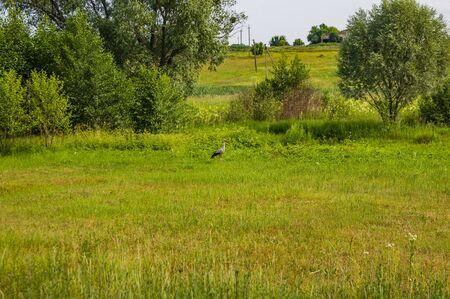 Bird a stork on a green meadow. Background.