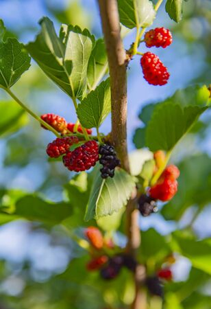 Red and black mulberries on a branch - macro photo Stockfoto