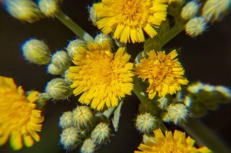 Blooming yellow field plants - macro photo. Background.