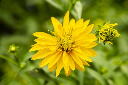 Yellow wild flower - macro photo. Natural background.