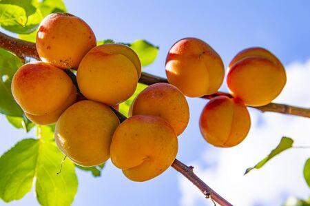 Aprikosenfrucht auf einem Ast an einem sonnigen Tag. Landwirtschaft. Obst Hintergrund.