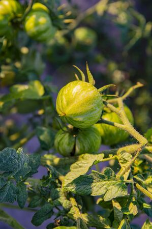 Green tomatoes on a garden bed in the sun. Vegetarian food. Agriculture. Food photo. Stockfoto