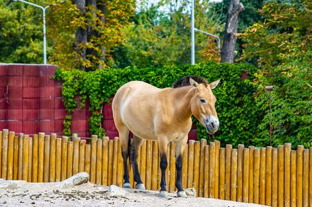 Przewalski's horse in the aviary of the zoo. Animal world. Stock Photo