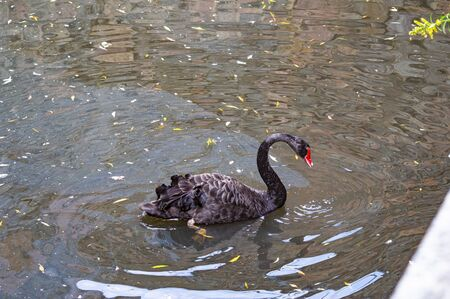 A black swan is floating in the water. Wild birds.