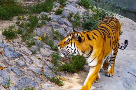 Big tiger on a background of stones. Wild nature. Background image. Zoo.
