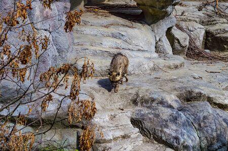 Wild hyena walks on the background of stones. Wild nature. Background image. Zoo.
