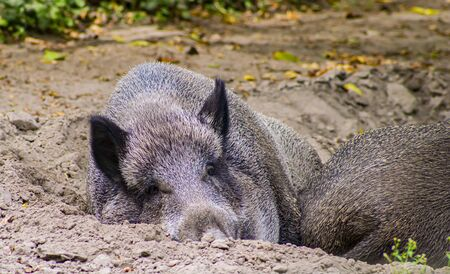 Wild boars relax in the wild. Animal world. Stock Photo