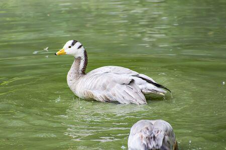 Duck wild birds swim in the lake. Animal world. Stock Photo