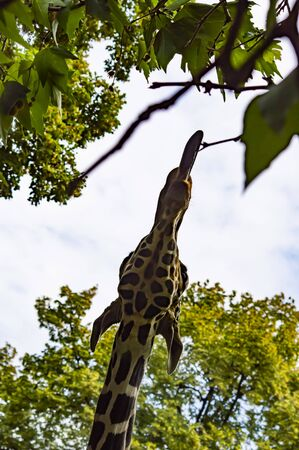 The head of a large giraffe eating tree leaves. Animal world.