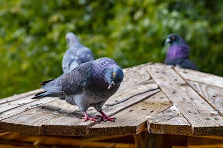 Pigeon birds are sitting on a wooden roof. Animal world.