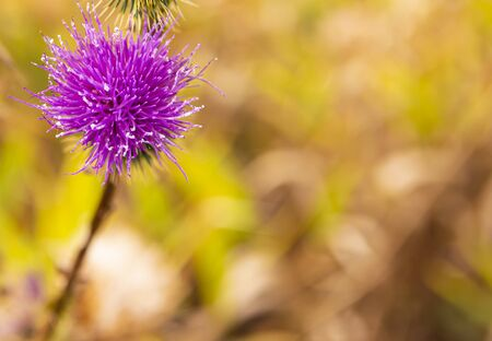 Lilac field flowers of spines. Background image. Macro photo.